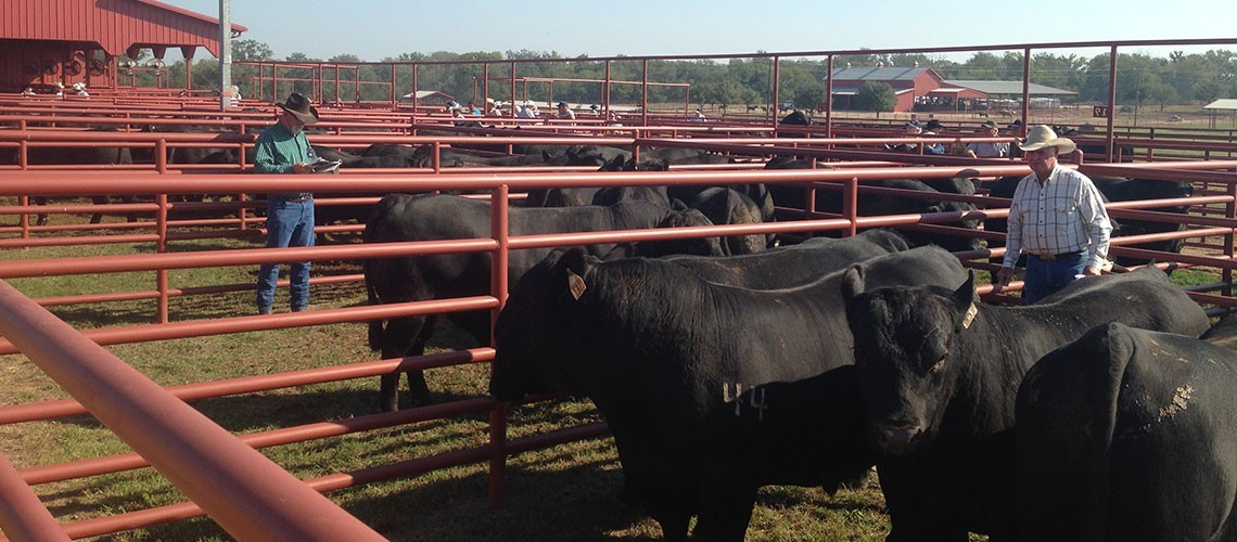 VIDEO: Battered by Years of Drought, Texas Cattle Ranching Rebounds