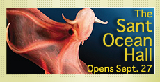 The Sant Ocean Hall opens Sept. 27. Image: Glowing-sucker Octopod (Stauroteuthis syrtensis). Photo courtesy of David Shale.