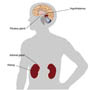 Location of the components of the hypothalamic-pituitary-adrenal (HPA) axis