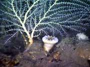 Callogorgia coral with a solitary cup coral