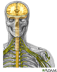 Illustration of the brain, spinal cord and peripheral nerves