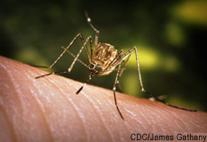 Photograph of a mosquito on human skin