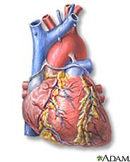 Illustration of the heart