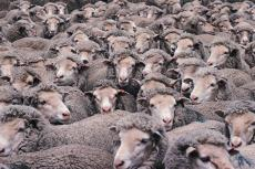 Photograph of a flock of sheep