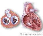 Heart Valves Illustration