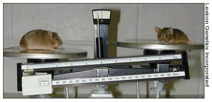 Overweight Mice