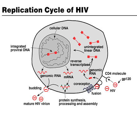 Replication Cycle of HIV