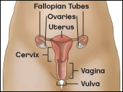 Diagram of the female genital tract depicting fallopian tubes, ovaries, uterus, cervix, vagina, and vulva.