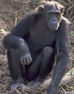Image of chimpanzee.
