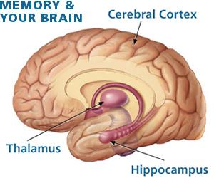 Illustrtation of brain with labels.