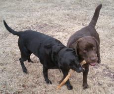 Fotografía de dos perros labradores jugando con un palo