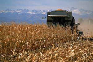 photo of corn harvesting