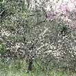 Ciruelo africano