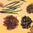 Clavo de olor y aceite de clavo de olor