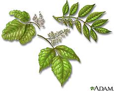 Illustration of poison oak, poison ivy and poison sumac