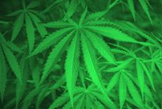 Fotografía de plantas de marihuana