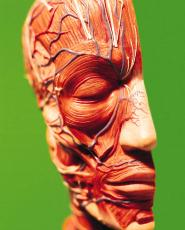 Photograph of a model of half a head showing muscular and circulatory anatomy