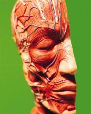 Fotografía de un modelo de cabeza detallando la anatomía muscular y circulatoria
