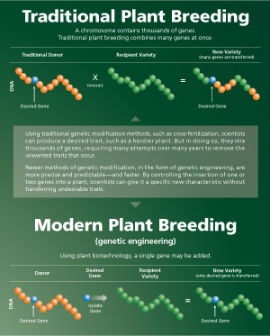 Compares traditional method to produce desired genetic trait with modern plant breeding methods.