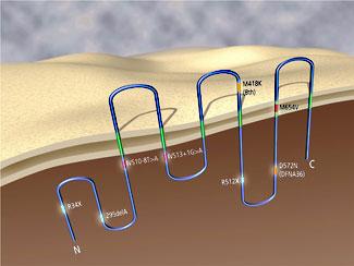 Illustration of the TMC1 gene