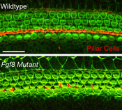 A targeted mutation in the Fgf8 gene results in a disruption in the development of pillar cells (red).