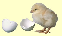 chick just out of its egg