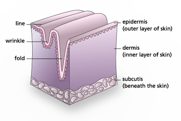 diagram showing formation of wrinkle in the skin