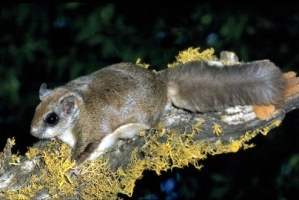 West Virgina Northern flying squirrel. Credit: US Army Corps of Enginers