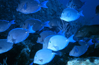 A school of blue tang.