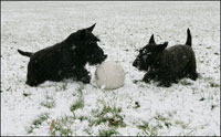 Barney & Miss Beazley play with their soccer ball in the snow on the South Lawn of the White House, Wednesday, Dec. 5, 2007.