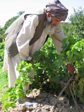 The purpose of USAID's agricultural sector development program is to improve food security, increase cropping productivity and rural employment, and improve family incomes and well being. Improved job opportunities and incomes are also aimed at reducing pressures on the poor to grow illicit crops. Here, a farmer tends his grape vines. USAID Photo