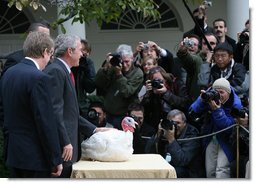 President George W. Bush stands over May, the 2007 National Thanksgiving Turkey, as the turkey becomes the center of focus for the White House media during the Pardoning of the National Thanksgiving Turkey Tuesday, Nov. 20, 2007, in the Rose Garden of the White House. White House photo by Joyce N. Boghosian