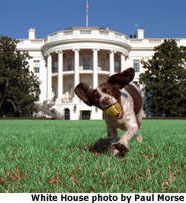 Photo of Spotty running on White House lawn with tennis ball in her mouth, White House photo by Paul Morris