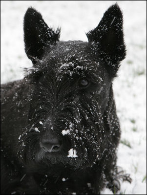 Barney shows a frosty face after a romp across the South Lawn of the White House in the season's first snowstorm Dec. 5, 2007.