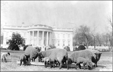 Woodrow Wilson's sheep graze on the South Lawn, 1918.