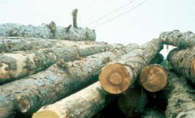 Logs in storage in log yard. Can you spot the potential hazard?