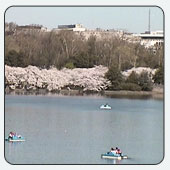 The Cherry Blossom Web Camera is one of several webcams available on www.doi.gov.