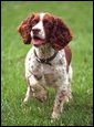 """Spot """"Spotty"""" Fetcher, an English Springer Spaniel is photographed on the South Lawn, May 28, 2001.  White House photo by Paul Morse"""