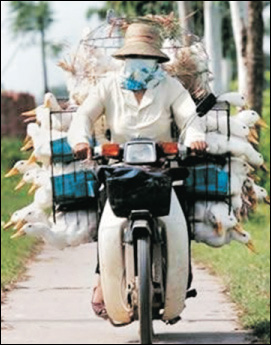 Man wearing a mask, riding a motorbike, and balancing a load of caged ducks.
