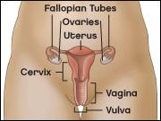 Diagram of the female genital tract depicting fallopian tubes, ovaries, uterus, cervix, vagina, and vulva.