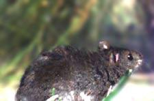 rice rat