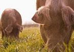 2 pigs grazing in a field.