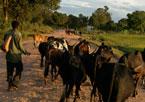 Local boy herds cattle near Antananarivo, Madagascar.