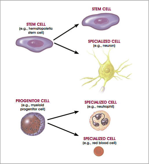 Distinguishing Features of Progenitor/Precursor Cells and Stem Cells
