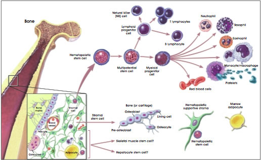 Hematopoietic and Stromal Stem Cell Differentiation