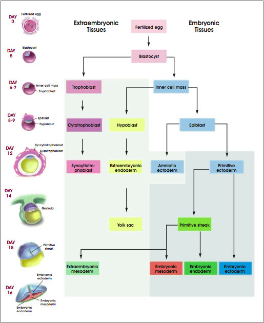 Development of Human Embryonic Tissues