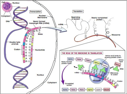 Gene Transcription, Translation, and Protein Synthesis.