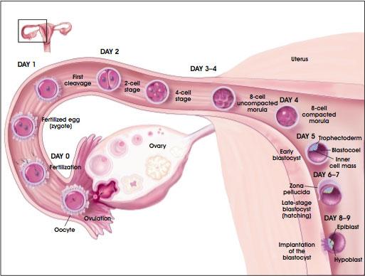 Development of the Preimplantation Blastocyst in Humans