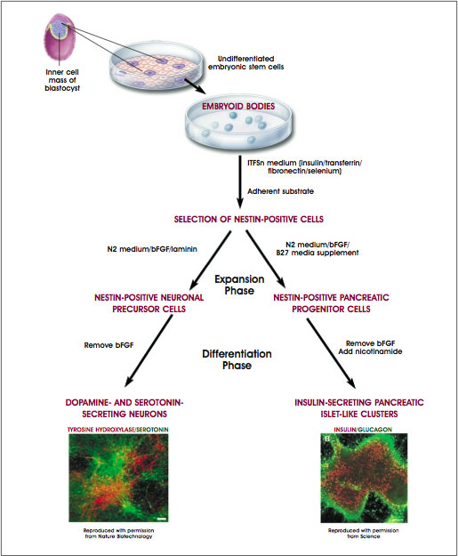 Directed Differentiation of Mouse Embryonic Stem Cells Into Neurons or Pancreatic Islet-Like Clusters