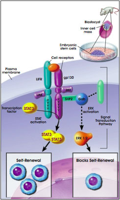 The LIF-STAT3 Signaling Pathway Promotes Embryonic Stem Cell Self-Renewal